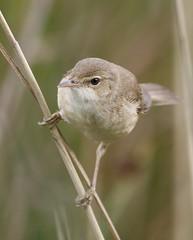 Reed Warbler (Mark Walpole) Tags: reed point wildlife watch warbler rspb saltholme