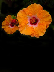 mother's day 2016 on galveston island,   hibiscus (nolehace) Tags: sanfrancisco plant galveston flower island spring day mothers hibiscus bloom 2016 516 nolehace fz1000