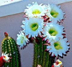 (Roger Hilleboe) Tags: flowers arizona cactus cacti flora desert sonoran succulents 5star desertflowers desertlandscaping arizonaflora suncitywestarizona