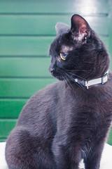 IMG_4078 (BalthasarLeopold) Tags: pet cats pets animal animals cat blackcat mammal kitten feline dof kittens felines blackcats indoorcat dephtoffield