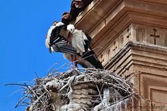 Cigea limpiandose en el Colegio de Fonseca (Salamanca) / Stork preening at the Colegio de Fonseca (Salamanca) (avgomo) Tags: espaa fauna spain salamanca stork cigea