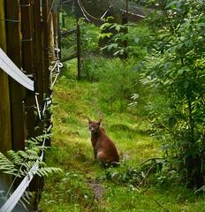 Luchs / Lynk (The_Passenger) Tags: animals tiere lynx tier saarland wildcats saarbrcken wildpark luchs wildkatzen
