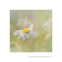 Love me, or love me not. (BirgittaSjostedt) Tags: flower texture soft bright highkey tripleurospermuminodorum falsechamomile baldersbr plantwild