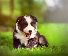 Mune (Elisa Pirat) Tags: dog chien pet white black animal noiretblanc adorable vert chiot regard mignon baillement mimique