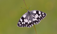 Marbled White (Melanargia galathea). (Bob Eade) Tags: summer brown white black macro nature butterflies lepidoptera micro grassland seaford melanargiagalathea marbledwhite southdownsnationalpark nikond610