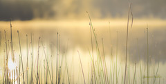 My Morning Reed (jeanmarie shelton) Tags: morning light sunlight mist lake plant nature fog sunrise reflections reeds landscape outdoors nikon shine bokeh jeanmarie jeanmarieshelton