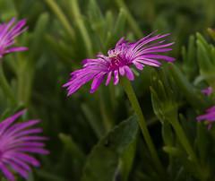 Jungle florale. (julie.graph) Tags: pink flowers rose fleurs plante violet jardin extrieur ptale ete