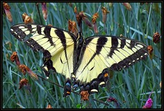 IMG_4478 Battered Beauty Respite 6-15-16 (arkansas traveler) Tags: flowers nature butterfly zoom insects bugs telephoto bichos easterntigerswallowtail naturewatcher