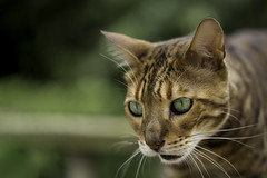 WTF? (A J Thackway) Tags: portrait green cat canon intense eyes tiger whiskers smell surprise handheld shock surprised feeling wtf breathe bengal intensity sense 6d ef100mmf28lmacro