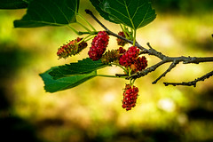 Mulberries- (desouto) Tags: flowers trees sky nature water clouds stream berries stones lakes ponds hdr
