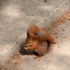 Feeding time (Navi-Gator) Tags: animal squirrel feeding cureuil