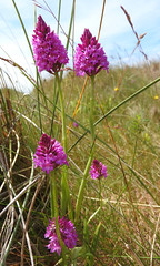 Pyramidal Orchid (bighairydave) Tags: orchids pyramidalorchid