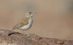 Karoo Long-billed Lark - Certhilauda subcoronata (Justin Rhys Nicolau) Tags: africa brown bird nature canon desert wildlife birding aves 500mm namibia birdwatching f4 lark avifauna lbj swakopmund karoo longbilled alaudidae 1dx certhilauda subcoronata