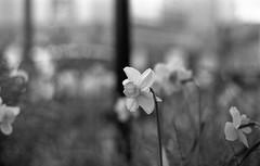 Narcissus (Amelien (Fr)) Tags: blackandwhite bw film monochrome rollei analog zeiss 50mm nikon noiretblanc kodak 14 hc110 nb 200 epson f3 amc argentique 131 narcissus v550 planar 2016 pellicule 50f14 superpan dilutionb filmisnotdead homescanned believeinfilm capturedonrealfilm