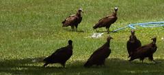 Gambia 2 Gieren (megegj)) Tags: bird gambia vogel gert