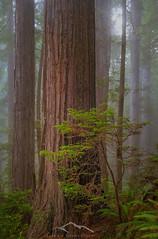 Rite Of Passage (Sairam Sundaresan) Tags: trees usa tree northerncalifornia fog landscape sony fineart foliage finished redwoods alpha delnorte sairam sundaresan sairamsundaresan sonya7rii
