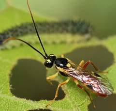 7.8 mm female ichneumon (ophis) Tags: ichneumon hymenoptera ichneumonidae ichneumonoidea parasitica tryphoninae periclista exenterini