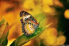 Butterflies are self propelled flowers.  Robert A. Heinlein (gusdiaz) Tags: botanic garden tropical miami coral gables fl beautiufl colorful bokeh canon 60mm mariposa colorido hermoso nature naturaleza summer verano vacation vacacion