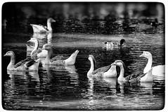 Everywhere a Quack, Quack... (Texas Finn) Tags: awardtree