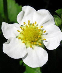 Strawberry Soon (Puzzler4879) Tags: flowers white brooklyn strawberry strawberries bbg brooklynbotanicgarden springflowers pointshoot botanicgardens canonpowershot whiteflowers herbgardens canondigital canonaseries canonphotography strawberryflowers strawberryblossoms perfectpetals canonpointshoot a580 canona580 canonpowershota580 powershota580 amazingdetails unforgettableflowers naturescarousel silveramazingdetails perfectpetalsprestigious