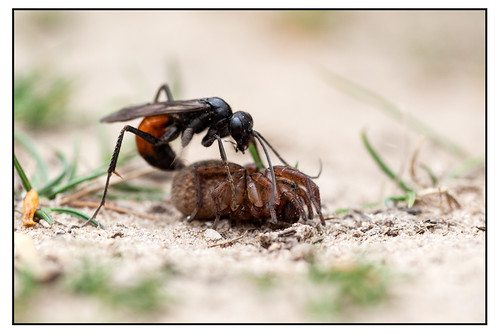 Spider-hunting Wasp