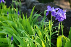 Purple (brianfarrell) Tags: wild flower green nature floral garden spring natural blossom outdoor korea bloom southkorea jeju cheju