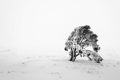 Solitude (Craig Holloway) Tags: snow tree nikon nsw blizzard whiteout ramshead d800 thredbo snowymountains ramsheadrange nikond800 nikon1635