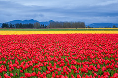 Red and yellow tulip field in the mountain (Kanonsky) Tags: seattle morning red sky orange mountain plant flower color nature floral beautiful beauty field yellow bulb clouds washington leaf spring flora colorful tulips bright cloudy blossom farm vibrant seasonal harvest scenic vivid row petal valley bloom agriculture springtime