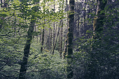 Coniferous Birch Forest (Amy.Silverman) Tags: park trees mountain fern green oregon forest seaside moss state forrest earth mother hike birch lush saddle gully