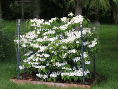 Viburnum, Lake Joy, WA 5/22/13 (LJHankandKaren) Tags: viburnum lakejoy