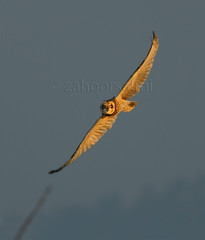 Short eared owl (zahoor-salmi) Tags: camera pakistan macro nature birds animals canon lens photo tv google flickr natural action wildlife watch bbc punjab wwf salmi walpapers chanals discovry beutty bhalwal zahoorsalmi