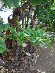 Banana bunchy top virus-infected plants (Scot Nelson) Tags: hawaii banana virus bbtv bananabunchytop