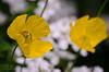 Yellow Poppies (Stephen Whittaker) Tags: nikon d5100 whitto27