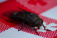 The Fly (zixca) Tags: red color nature contrast insect fly diagonal