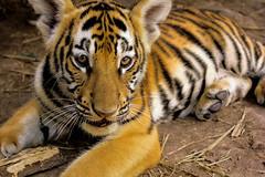 IMG_9073-2 (Emely Navarro) Tags: naturaleza animales tigre