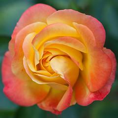 Orange Rose...(Explored...thanks!) (Lady Haddon) Tags: macro rose petals 100mm orangerose macroflowerlovers