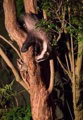 Acrobat (Dan Belton ( No Badger Cull )) Tags: summer urban tree dan night cub nocturnal suburban july climbing badger brock cubs belton cull tories behaviour melesmeles 2013 nocull