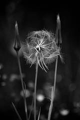 Dandelion (Katka S.) Tags: bw white black flower detail macro nature contrast dark high seed dandelion seeds