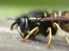 Having lunch (thenbman) Tags: canon wasp sting insects powershot lbs sx150 littlebigshot
