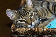 I love this little guy!!! He is so attached to us but so psycho. He sure does shine though and is beautiful. (praline3001) Tags: pet cute cat photography kitten louisiana feline neworleans playful aforable