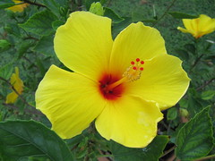 Yellow Hibiscus by wallygrom, on Flickr