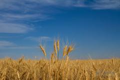 Standing Tall! (jeffzenner) Tags: grain wheat agriculture crop farm farming farmland field fields gold golden harvest nezperce prairie seed ag camasprairie head image photo photography ripe ripen stalk stock