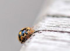 """Hi and welcome to your table""... (nikkorglass) Tags: macro yellow ladybird ladybug gul nyckelpiga propyleaquatuordecimpunctata 14spotted 14prickars"