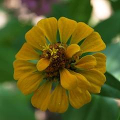 another zinnia (SS) Tags: flower yellow square pentax bokeh greens zinnia k5 ss