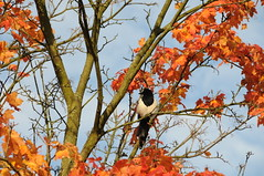 Magpie (TomikoPL) Tags: tree bird animal fauna copenhagen denmark magpie danmark københavn dania ptak sroka drzewo brønshøj kopenhaga zwierzę tingbjerg