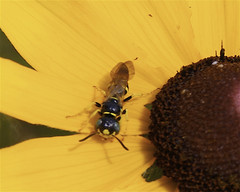 Male Beewolf (milesizz) Tags: wisconsin milwaukee wi philanthus apoidea crabronidae philanthinae apoidwasps beewolves