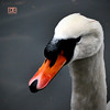 Portrait of a Mute Swan (@CubePhotos) Tags: life park winter white black bird water birds photoshop river outdoors scotland countryside swan pond nikon wildlife south country great beak feather scottish british ayr mute britian ayrshire d60 cs6