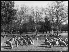 Sheep grazing in Creswell Gardens, Adelaide (State Records SA) Tags: blackandwhite photography sheep australia adelaide historical southaustralia urbanlandscape stpeterscathedral frankhurley creswellgardens srsa staterecords staterecordsofsouthaustralia staterecordsofsa