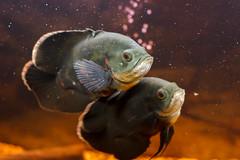 django e Broomhilda (lucacorso26) Tags: fish nature water canon big oscar acquarium astro astronotus 550d