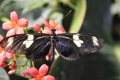 Doris Longwing  (Heliconius doris) (Kiasog) Tags: history museum butterfly smithsonian natural national history dorislongwing live museum heliconiusdoris smithsonian institute pavilion